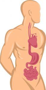 NX_human_anatomy_heart_stomach